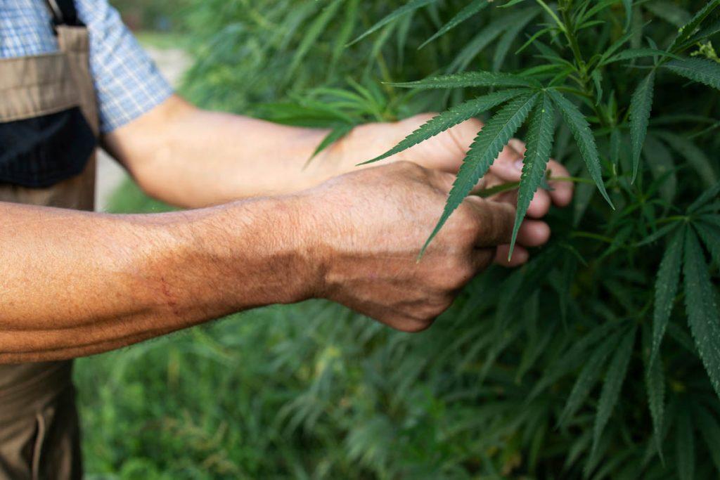 cultive cannabis legal